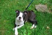 super cute boston terrier for adoption